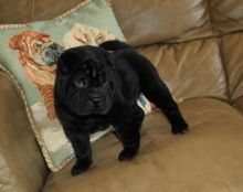 male and female Shar Pei puppies
