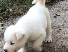 Platinum White Akita Pups