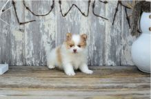 Teacup Pomeranian Puppies for adoption