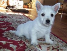 West Highland Terrier Pups Call or text (716) 402-8078