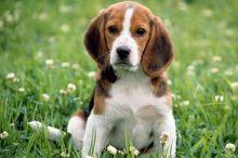 Sweet Beagle Puppies,