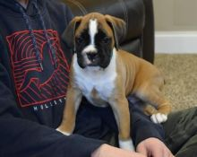 Kelowna Boxer : Dogs, Puppies for Sale Classifieds at