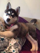 Stunning Siberian Husky Puppies Text at : (319) 214-5856 Image eClassifieds4U
