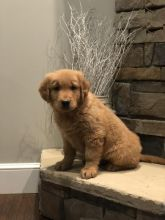 Golden Retriever Puppies Image eClassifieds4U