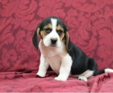 C.K.C MALE AND FEMALE BEAGLE PUPPIES AVAILABLE