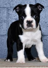 C.K.C MALE AND FEMALE BOSTON TERRIER AVAILABLE