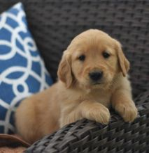 C.K.C MALE AND FEMALE GOLDEN RETRIEVERS PUPPIES AVAILABLE