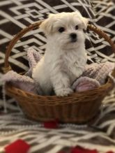 C.K.C MALE AND FEMALE MALTESE PUPPIES AVAILABLE