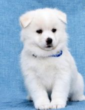 C.K.C MALE AND FEMALE Pomsky Puppies For Adoption