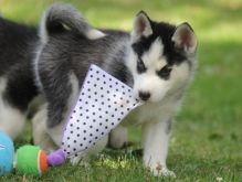 C.K.C MALE AND FEMALE SIBERIAN HUSKY PUPPIES AVAILABLE