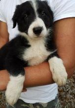 Adorable Border Collie pups
