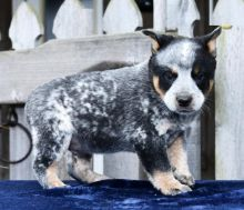 Blue Heeler Puppies Looking For New Homes