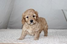 Cavapoo Puppies Looking For New Homes