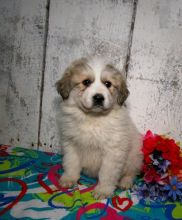 Great Pyrenees Puppies Looking For New Homes