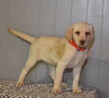 Labrador Retriever Puppies Looking For New Homes