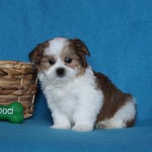 Malshi Puppies Looking For New Homes