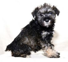Miniature Schnauzer Puppies Looking For New Homes