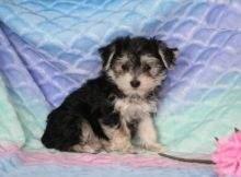 Morkie Puppies Looking For New Homes