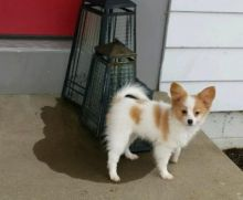Papillon Puppies Looking For New Homes