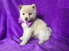 Pom-Shi Puppies Looking For New Homes