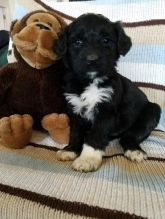 Portuguese Water Dog Puppies Looking For New Homes