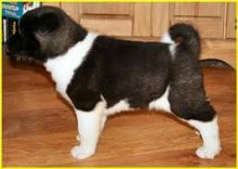 Purebred and Standard American Akita Puppies