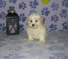 Shih-Poo Puppies Looking For New Homes