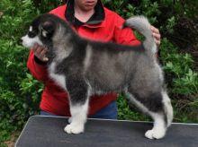 Stunning Alaskan Malamute Pups