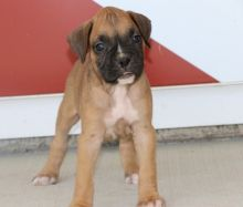 Two Friendly Boxer Puppies Available