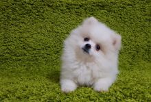 C.K.C MALE AND FEMALE POMERANIAN PUPPIES AVAILABLE Image eClassifieds4U