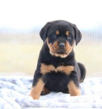 C.K.C MALE AND FEMALE ROTTWEILER PUPPIES AVAILABLE Image eClassifieds4U