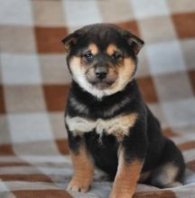 C.K.C MALE AND FEMALE SHIBA INU PUPPIES AVAILABLE Image eClassifieds4U