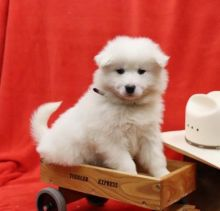 🎄🎄 Ckc ☮ Male 🐕 Female 🎄 SAMOYED PUPPIES AVAILABLE Image eClassifieds4U