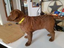 Chesapeake Bay Retriever Puppies Available Image eClassifieds4u 2