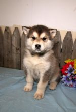 C.K.C MALE AND FEMALE ALASKAN MALAMUTE PUPPIES AVAILABLE