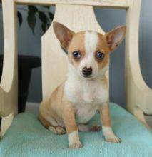 C.K.C MALE AND FEMALE CHIHUAHUA PUPPIES AVAILABLE