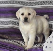C.K.C MALE AND FEMALE LABRADOR RETRIEVER PUPPIES AVAILABLE