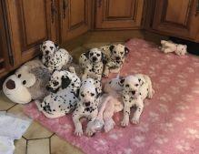 Beautiful Dalmatian Puppies available