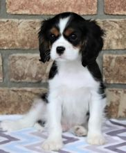 CAVALIER KING CHARLES SPANIEL PUPPIES AVAILABLE
