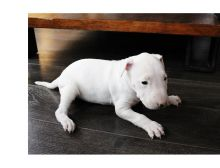 Gorgeous KC Registered Pedigree Bull terrier Puppies,