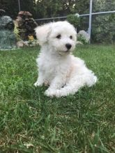 Top Quality Teacup Maltese Puppies