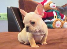 C.K.C MALE AND FEMALE FRENCH BULLDOG PUPPIES AVAILABLE Image eClassifieds4U