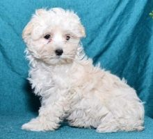 C.K.C MALE AND FEMALE MALTIPOO PUPPIES AVAILABLE Image eClassifieds4U