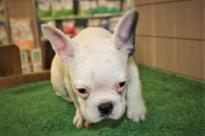 Amazing French bulldogs Puppies Available Image eClassifieds4u 2