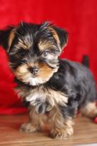 Teacup Yorkie Puppies Image eClassifieds4U