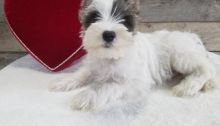 C.K.C MALE AND FEMALE MINIATURE SCHNAUZER PUPPIES AVAILABLE ]
