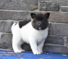 Akita Puppies Looking For New Homes