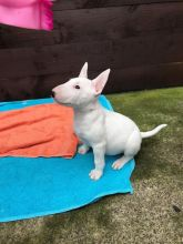 Bull Terrier Puppies Looking For New Homes