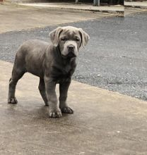 Cane Corso Puppies Looking For New Homes