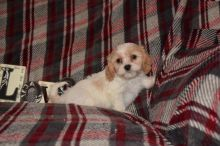 Cavachon Puppies Looking For New Homes